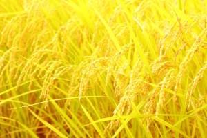 綺麗な雑穀